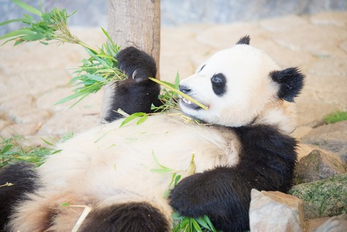 可愛らしいパンダ銀貨の魅力や価値について